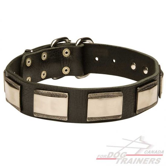 Awesome Leather Dog Collar Adorned with Large Brass Plates