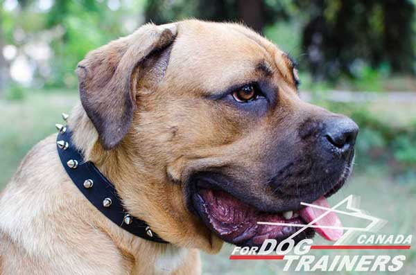 Collar for Cane Corso breed with elegant decoration