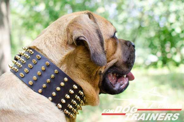 Leather Collar for Cane Corso Spiked