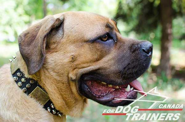 Leather Cane Corso Collar for Walking