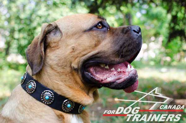 Leather Cane Corso dog collar wide and durable for different     activities