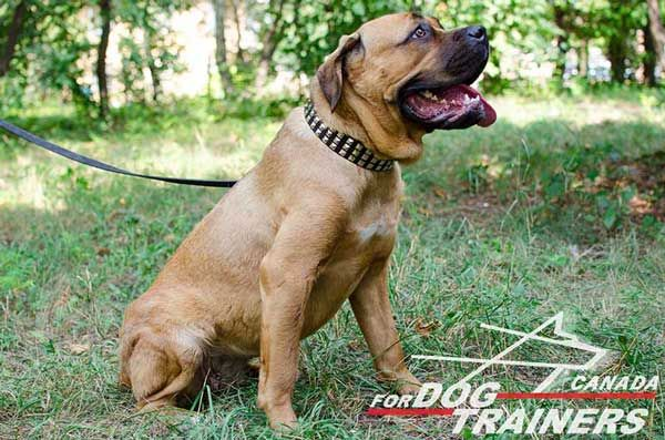 Leather Cane Corso Collar with Stylish Adorment