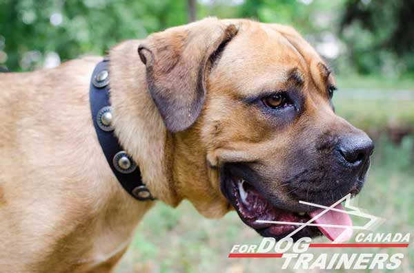 Nylon Collar for Cane Corso Walking