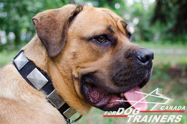 Nylon Cane Corso Collar for Walking