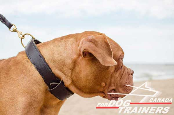 Leather Collar for Dogue de Bordeaux Successful Training