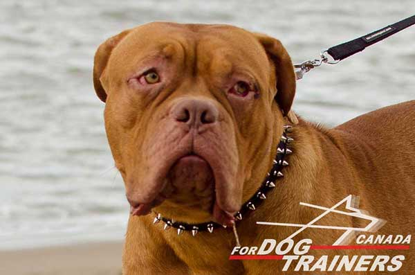 Dogue de Bordeaux collar decorated with silver-like spikes