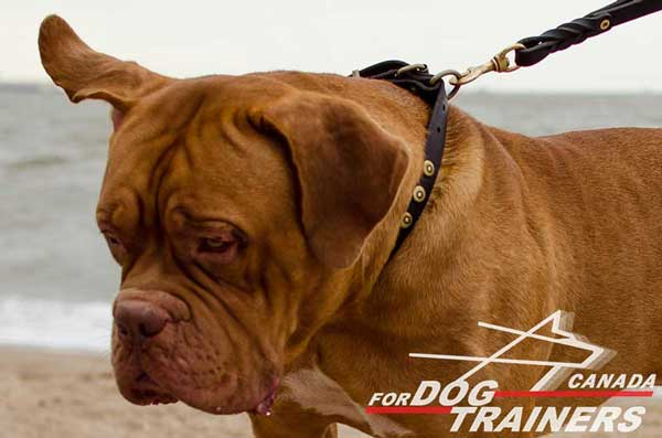 Leather collar for Dogue de Bordeaux breed with lead attachment