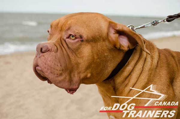 Leather Collar for Dogue De Bordeaux Walking and Training