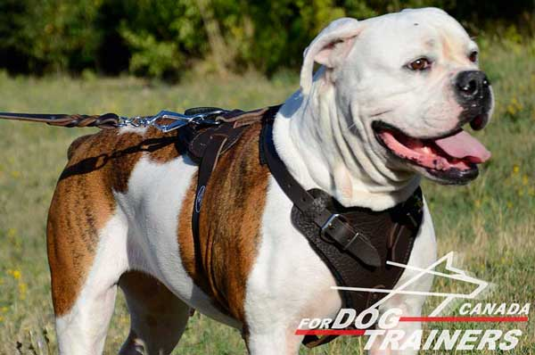 Classic American Bulldog Leather Harness