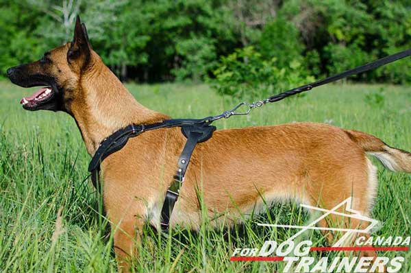 Belgian Malinois Harness with Leather Straps Stitched for Better Durability