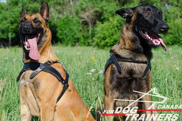 Multipurpose Belgian Malinois harness of high quality materials
