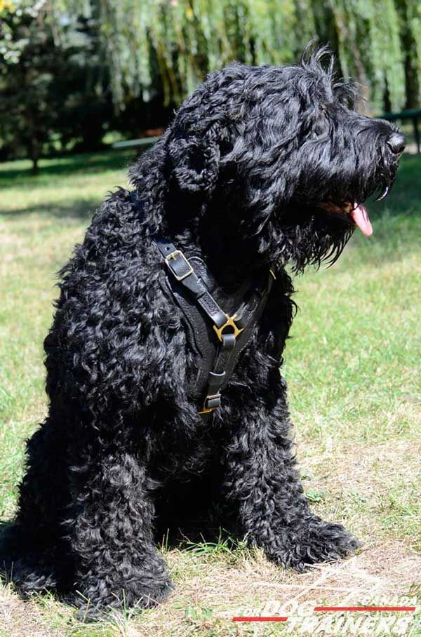 Leather Harness for Black Russian Terrier is Best for Walking/Training