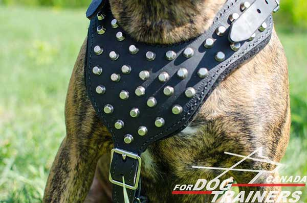Boxer Harness with Studs and Solid Hardware
