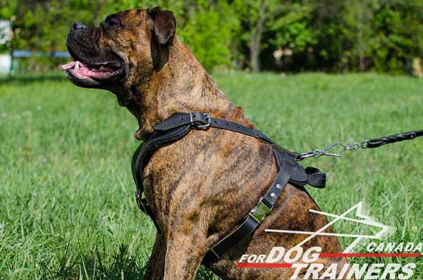 Boxer leather dog harness for agitation training with D-ring