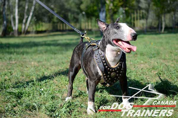 Harness for Bull Terrier  for walking and training