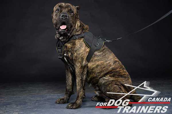 Cane Corso harness for all weather training and pulling activity