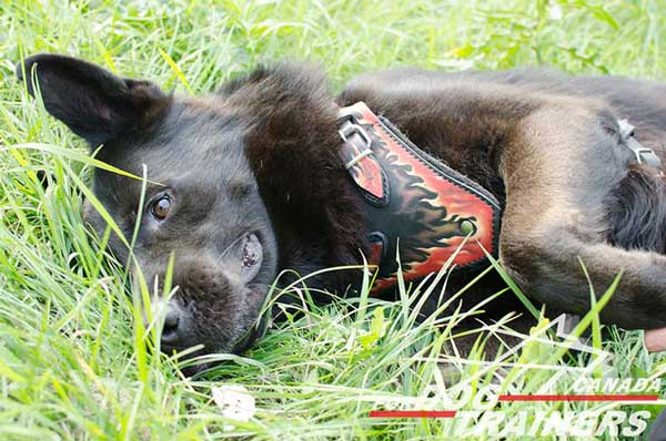 Agitation Leather Harness for German Shepherds