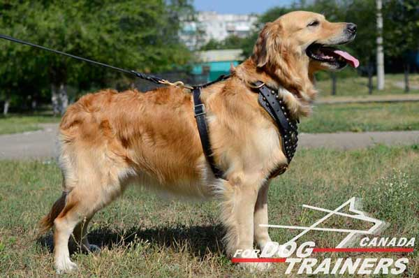 Golden Retriever harness with decoration on the chest part