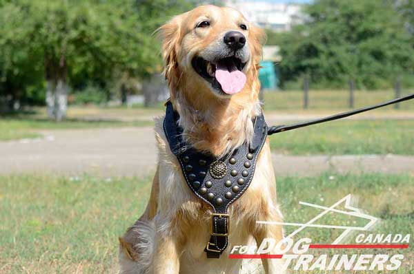 Golden Retriever harness  with brass  decoration