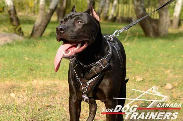 Leather Pit Bull Harness for Walking