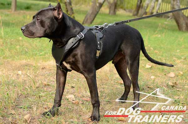 Pitbull leather harness adjustable  for training dogs