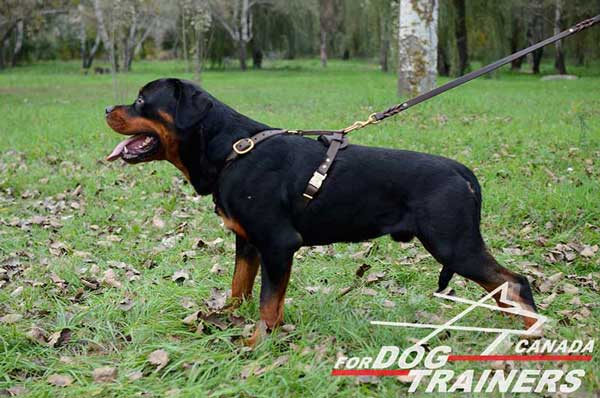 Rottweiler Leather Harness For Easy Tracking And Walking