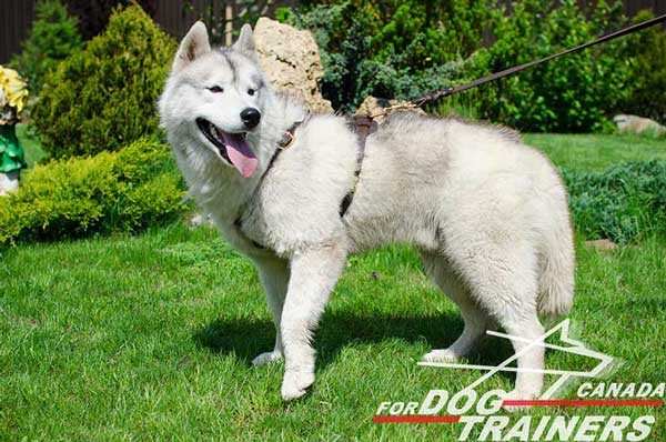 Leather Harness for Siberian Husky Tracking and Walking