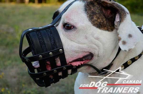 Leather American Bulldog Muzzle Padded with Felt