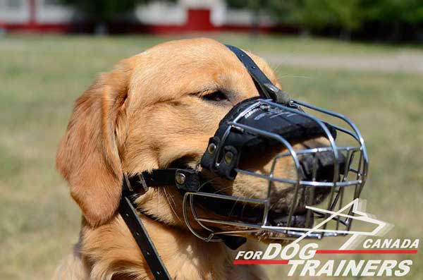 Training Muzzle for Golden Retrievers