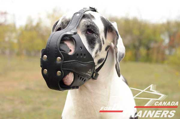 great Dane leather dog muzzle for outdoor activities